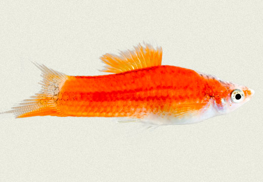 Swordtail Biocolor Red & White Male
