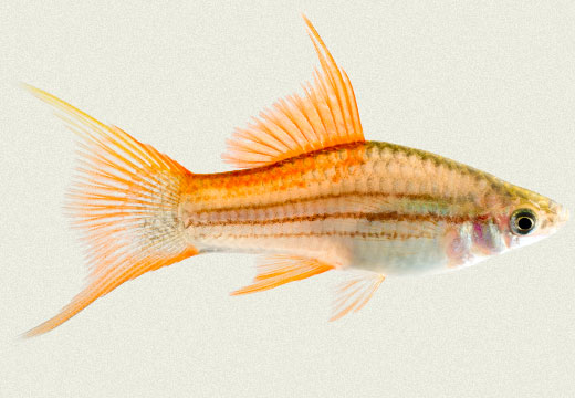 Swordtail Green Pineapple Lyretail