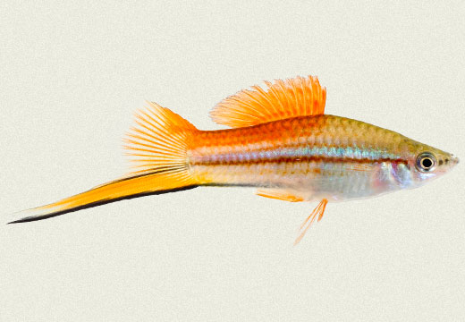 Swordtail Green Pineapple Victory Male