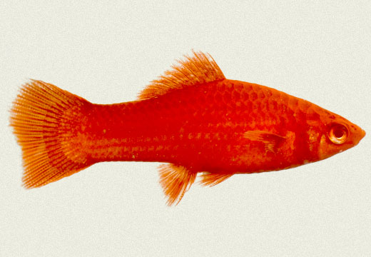 Swordtail Red Female
