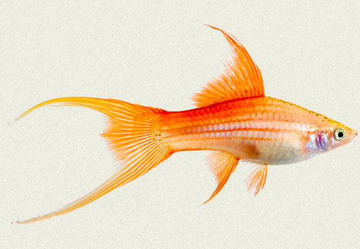 Swordtail Rose Pineapple Lyretail
