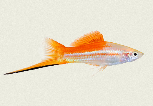 Swordtail Rose Pineapple Victory Male
