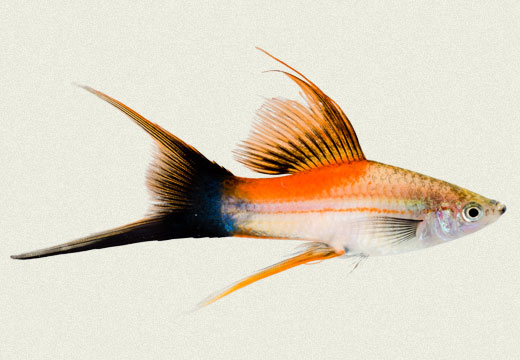 Swordtail Rose Pineapple Wagtail Lyretail