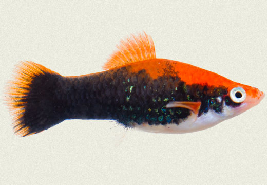 Swordtail Tuxedo Red Female