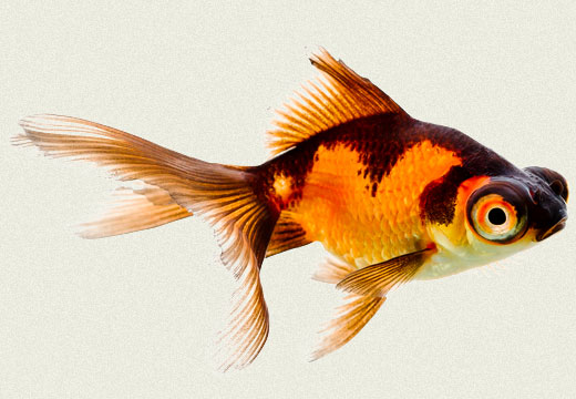 Goldfish tropicali for The fancy fish