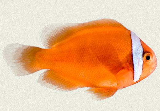 Tomato Clownfish Marine Fish
