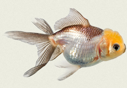 Tricolor Oranda Fancy Goldfish