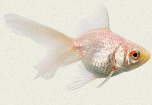 White Ryukin Fancy Goldfish