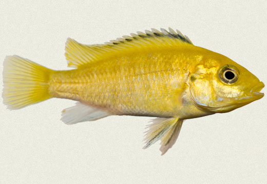 Yellow Lab, Caeruleus Cichlid