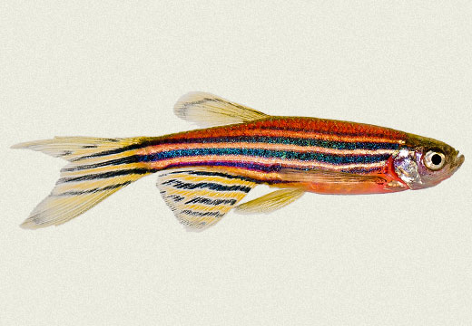 Zebra Danio Blue Red